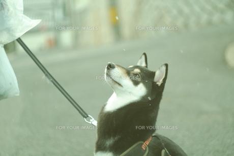 初雪と犬の写真素材 [FYI01203444]