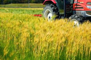 裸麦の写真素材 [FYI01203543]