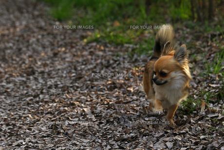 犬 チワワ 散歩の写真素材 [FYI01203825]
