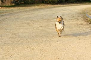 犬 チワワ 散歩の写真素材 [FYI01203830]
