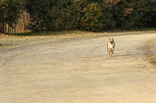 犬 チワワ 散歩の写真素材 [FYI01203833]