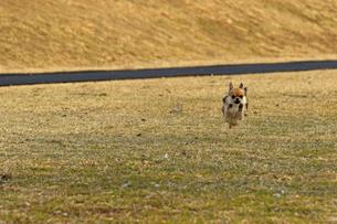 犬 チワワ 散歩の写真素材 [FYI01203837]
