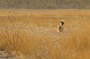 犬 チワワ 散歩の写真素材 [FYI01203858]