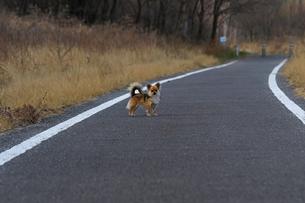 犬 チワワ 散歩の写真素材 [FYI01203877]