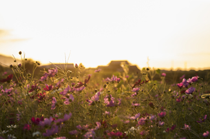 秋桜の写真素材 [FYI01203912]