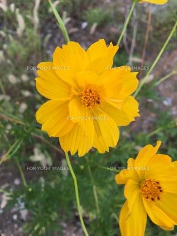 オオキンケイギク 野草の写真素材 [FYI01203919]