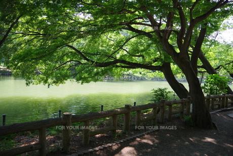 井の頭公園の風景の写真素材 [FYI01203982]