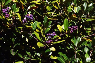 シャリンバイの実 ・ シャリンバイの木は大気汚染に強く 街路樹や路側帯に活用されるの写真素材 [FYI01204032]