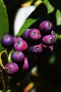 シャリンバイの実 ・ シャリンバイの木は大気汚染に強く 街路樹や路側帯に活用されるの写真素材 [FYI01204033]