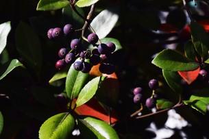 シャリンバイの実 ・ シャリンバイの木は大気汚染に強く 街路樹や路側帯に活用されるの写真素材 [FYI01204036]
