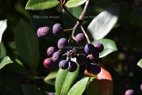 シャリンバイの実 ・ シャリンバイの木は大気汚染に強く 街路樹や路側帯に活用されるの写真素材 [FYI01204037]
