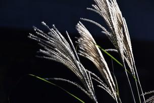すすきの穂 ・ 日がな一日 すすきは 風に さようならを おくりつづけている…(高田敏子 すすきの原 より)の写真素材 [FYI01204040]