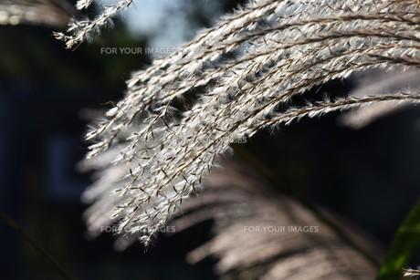 すすきの穂 ・ 日がな一日 すすきは 風に さようならを おくりつづけている…(高田敏子 すすきの原 より)の写真素材 [FYI01204042]