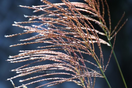 すすきの穂 ・ 日がな一日 すすきは 風に さようならを おくりつづけている…(高田敏子 すすきの原 より)の写真素材 [FYI01204053]