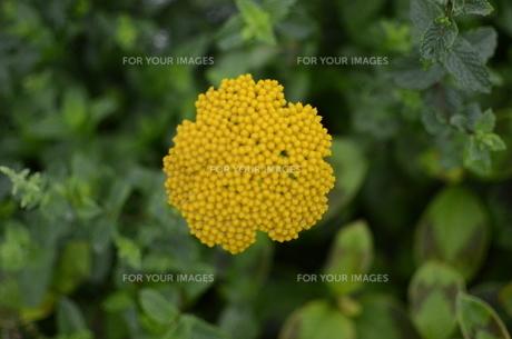 黄色い花2の写真素材 [FYI01204180]