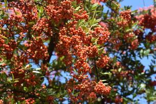 ピラカンサの実 ・ 小鳥たちは実を食べたお礼にと 種を運ぶの写真素材 [FYI01204297]