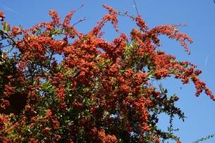 ピラカンサの実 ・ 小鳥たちは実を食べたお礼にと 種を運ぶの写真素材 [FYI01204301]