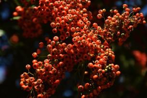 ピラカンサの実 ・ 小鳥たちは実を食べたお礼にと 種を運ぶの写真素材 [FYI01204303]