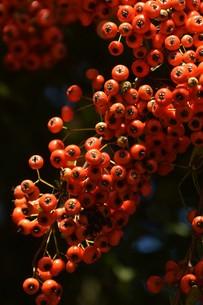 ピラカンサの実 ・ 小鳥たちは実を食べたお礼にと 種を運ぶの写真素材 [FYI01204304]