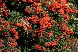 ピラカンサの実 ・ 小鳥たちは実を食べたお礼にと 種を運ぶの写真素材 [FYI01204305]