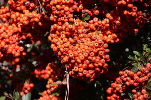 ピラカンサの実 ・ 小鳥たちは実を食べたお礼にと 種を運ぶの写真素材 [FYI01204307]