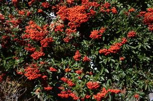 ピラカンサの実 ・ 小鳥たちは実を食べたお礼にと 種を運ぶの写真素材 [FYI01204309]