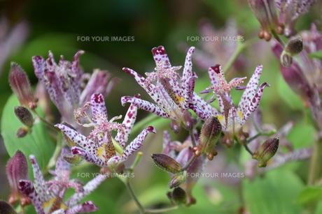 ホトトギス(杜鵑草)の花 ・ 名の由来は花弁の斑点が鳥のホトトギスの胸の模様に似ているの写真素材 [FYI01204317]