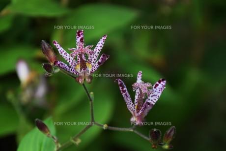 ホトトギス(杜鵑草)の花 ・ 名の由来は花弁の斑点が鳥のホトトギスの胸の模様に似ているの写真素材 [FYI01204318]