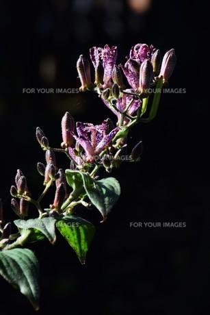 ホトトギス(杜鵑草)の花 ・ 名の由来は花弁の斑点が鳥のホトトギスの胸の模様に似ているの写真素材 [FYI01204320]