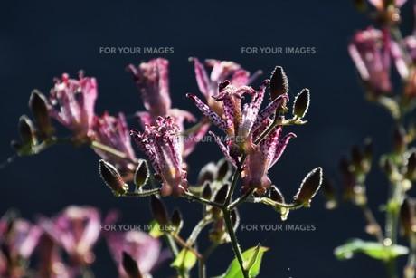 ホトトギス(杜鵑草)の花 ・ 名の由来は花弁の斑点が鳥のホトトギスの胸の模様に似ているの写真素材 [FYI01204321]