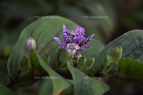 ホトトギス(杜鵑草)の花 ・ 名の由来は花弁の斑点が鳥のホトトギスの胸の模様に似ているの写真素材 [FYI01204322]