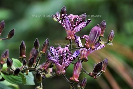 ホトトギス(杜鵑草)の花 ・ 名の由来は花弁の斑点が鳥のホトトギスの胸の模様に似ているの写真素材 [FYI01204326]