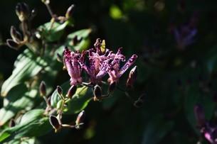 ホトトギス(杜鵑草)の花 ・ 名の由来は花弁の斑点が鳥のホトトギスの胸の模様に似ているの写真素材 [FYI01204328]