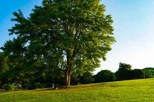 芝生広場の大きな木の写真素材 [FYI01204352]