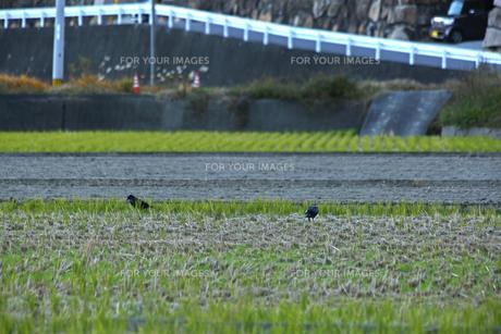 田んぼにカラスの写真素材 [FYI01204409]
