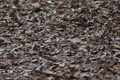 落ち葉 素材の写真素材 [FYI01204418]