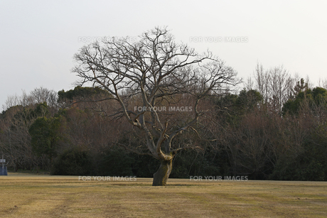 一本の木の写真素材 [FYI01204420]
