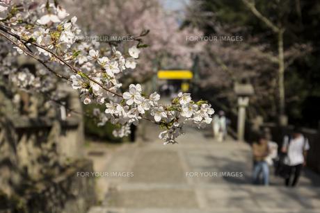 桜の花びらの写真素材 [FYI01204442]