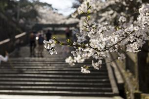 桜の花びらの写真素材 [FYI01204443]