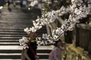 桜の花びらの写真素材 [FYI01204444]