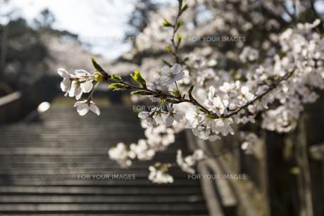 桜の花びらの写真素材 [FYI01204445]