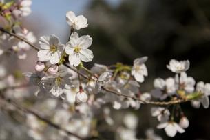桜の花びらの写真素材 [FYI01204448]