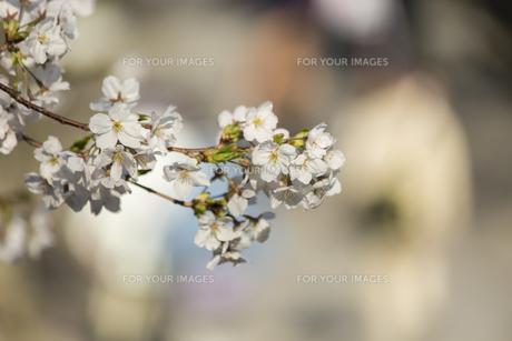 桜の花びらの写真素材 [FYI01204450]