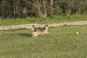 犬 チワワ 散歩の写真素材 [FYI01204476]