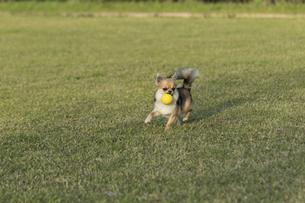 犬 チワワ 散歩の写真素材 [FYI01204483]