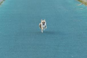 犬 チワワ 散歩の写真素材 [FYI01204488]