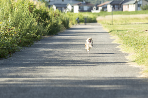 犬 チワワ ダッシュの写真素材 [FYI01204495]