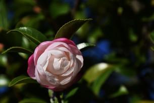 サザンカ ・ 冬の寂しい庭を彩ってくれる山茶花の花の写真素材 [FYI01204511]