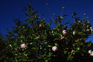 サザンカ ・ 冬の寂しい庭を彩ってくれる山茶花の花の写真素材 [FYI01204512]