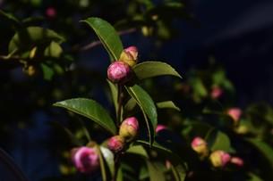サザンカ ・ 冬の寂しい庭を彩ってくれる山茶花の花の写真素材 [FYI01204513]